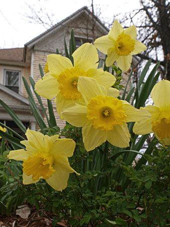 A midtown Victorian and daffodils.