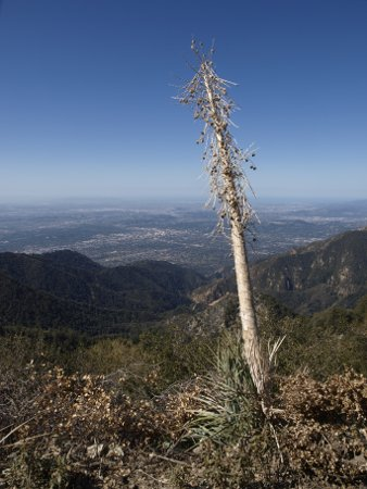 A Century plants stands guard over the Los Angeles Basin.