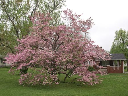 This is probably the most stunning example of a Pink Dogwood that I have ever seen.