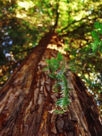 This elegant redwood took up roots in my Oakland backyard.