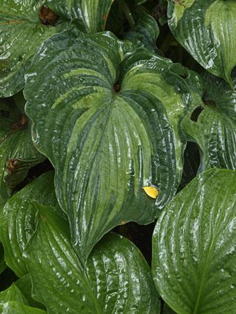 Hostas and rainy days