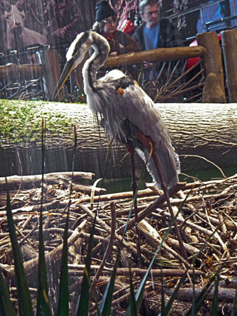 A Great Blue Heron fished the a cypress swamp diorama inside of Bass Pro.