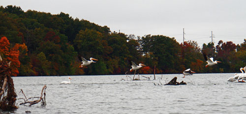 A flock of white pelicans took a break at the Lake Springfield rest stop.