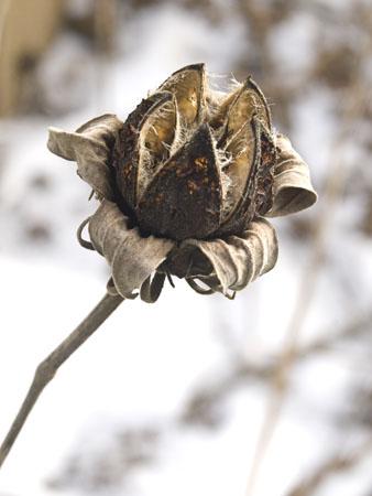 A hibiscus seedpod