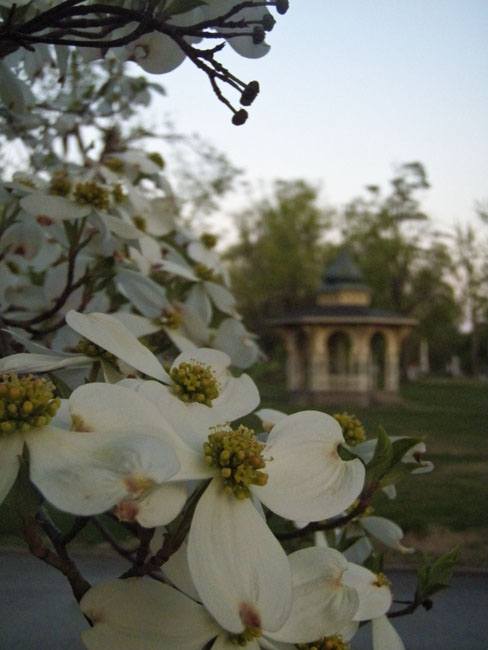 White Dogwoods in Maple Park Cemetery