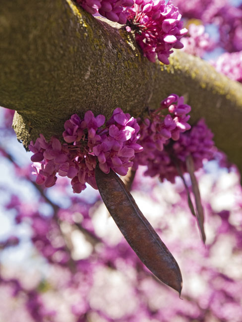 The Redbud blossoms are gone but one last photo until next spring.