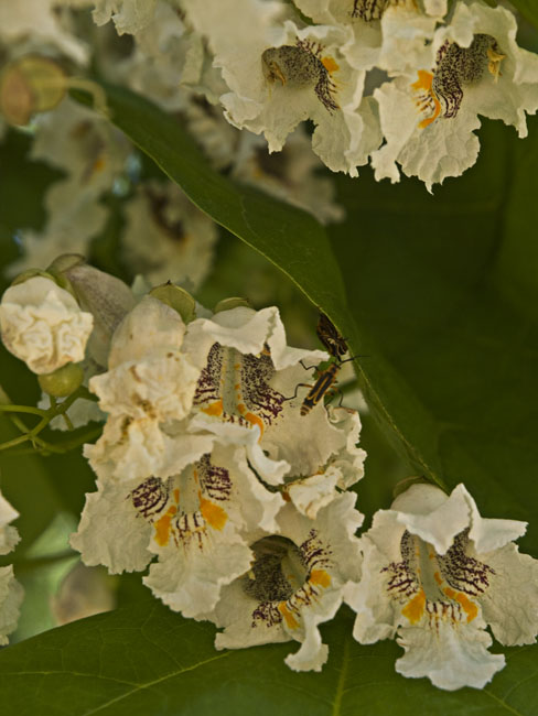 The beautiful blossoms of the Catalpa tree