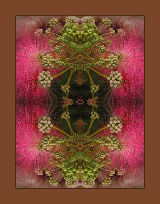 An explosion of pink, a Mimosa mandala