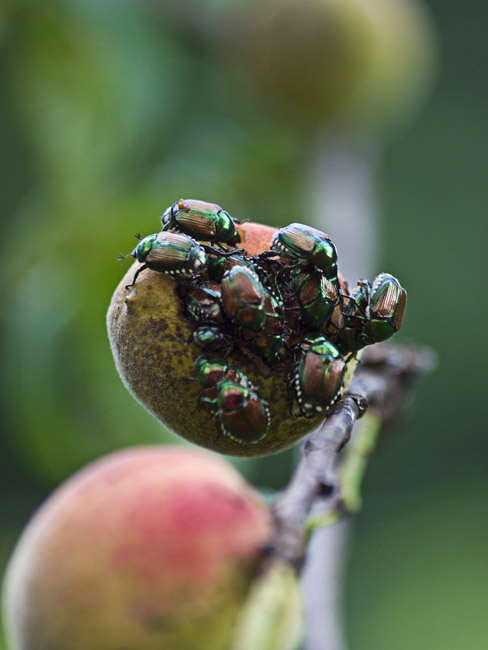 An invasion of Japanese Beetles