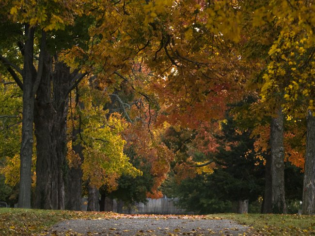 A tree lined avenue decked in fall colors at Maple Park