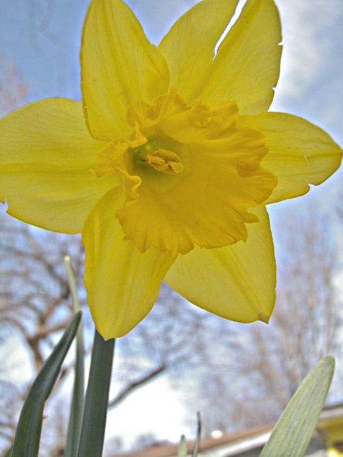 The first daffodil, I hope that the Farmer's Almanac is wrong