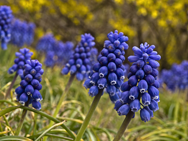 A spring carpet of Grape Hyacinths