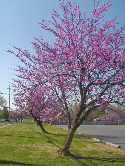 A perfect Redbud bouquet
