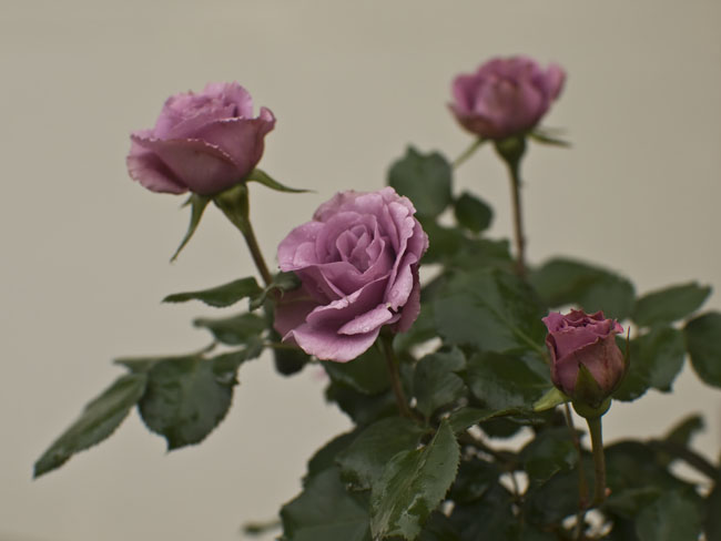 Osama Bin Laden has been buried at sea, a rose blooms in yard for peace.