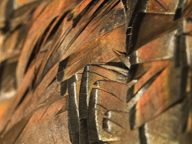 The iridescent feathers of a wild tom turkey