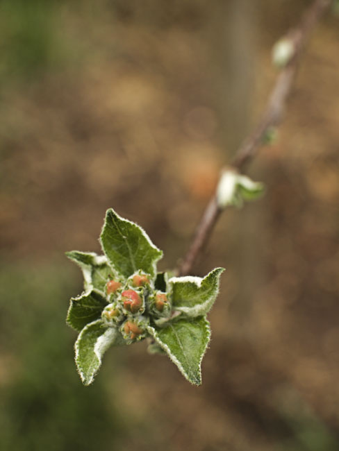 Another view of the Malus Freedom apple tree buds