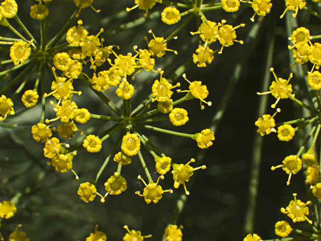 Can you name this common garden plant?