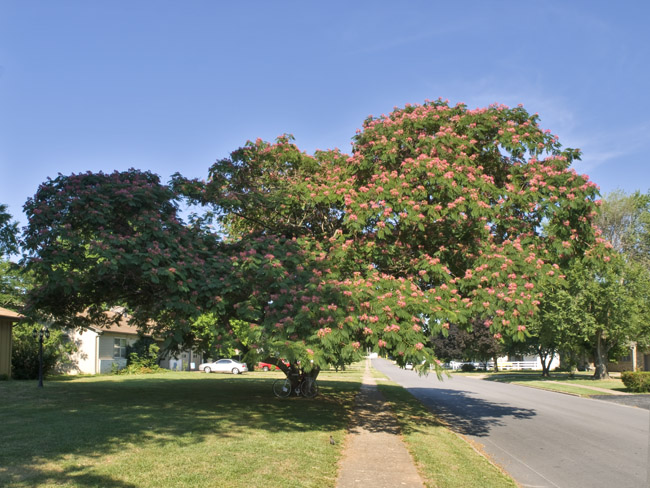 A massive Mimosa tree is exploding with blooms