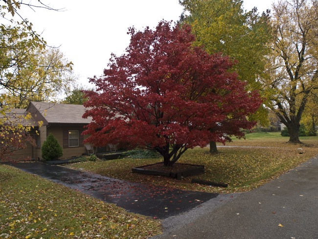 I love Japanese Maple trees