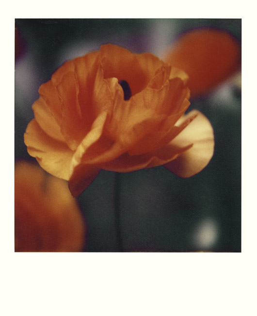 A California Poppy for you holidays