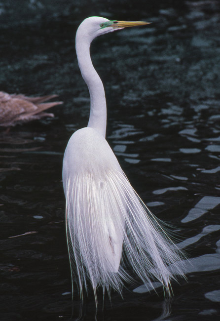 The mating plumage of a Great Egret, circa 1988