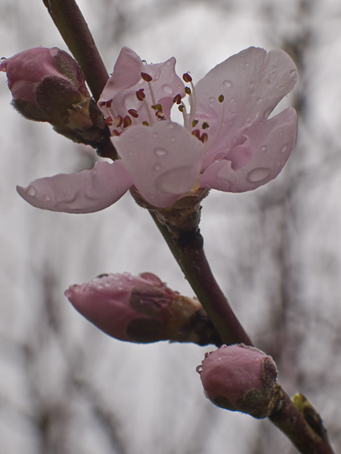 The first peach blossom
