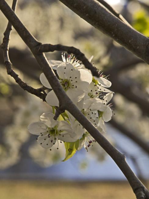 A Bradford Pear in bloom