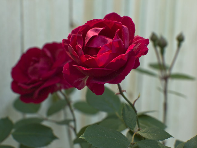 A Gorgeous Rose