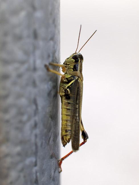 Grasshopper still-life