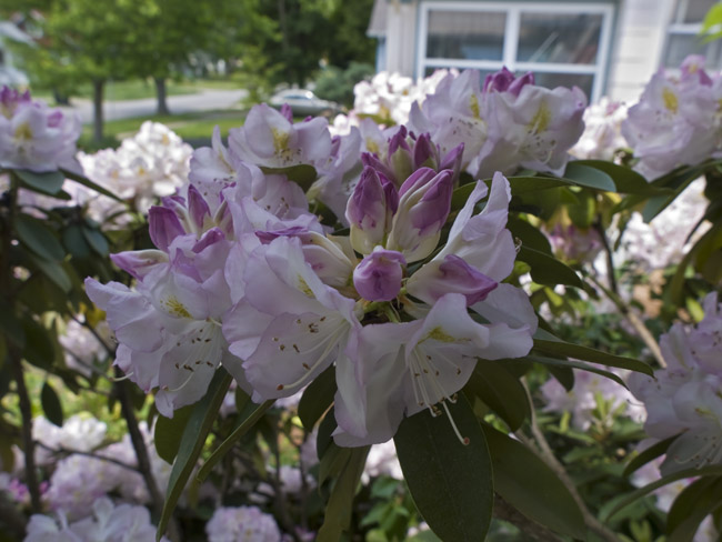 The Rhododendrons are already in bloom.