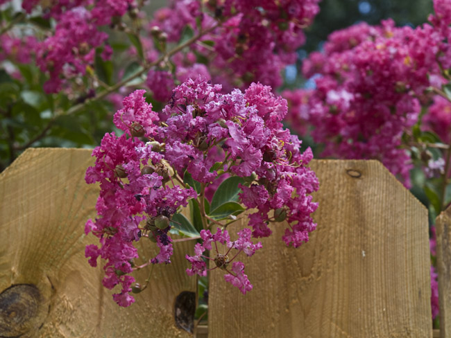 Celebrate the summer solstice with a spray of Crepe Myrtle