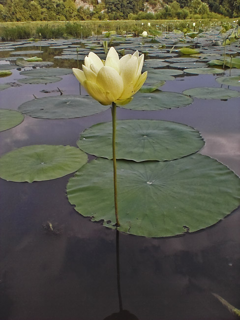 A Water Lily blooms on Lake Springfield