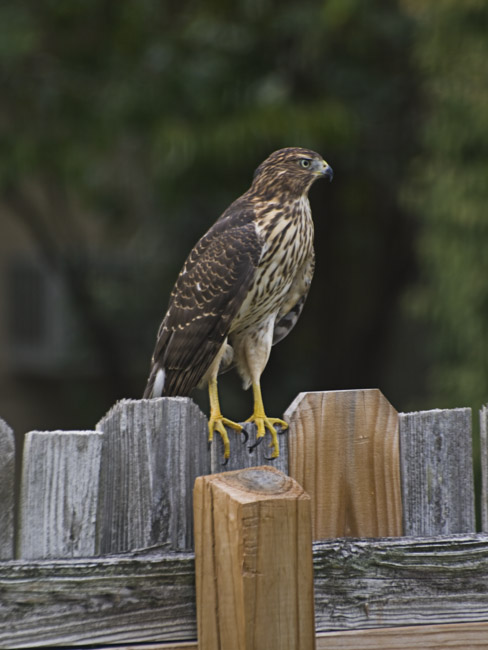 A Cooper's Hawk landed on my backyard fence