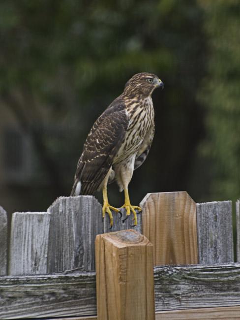 A Cooper's Hawk landed on my backyard fence
