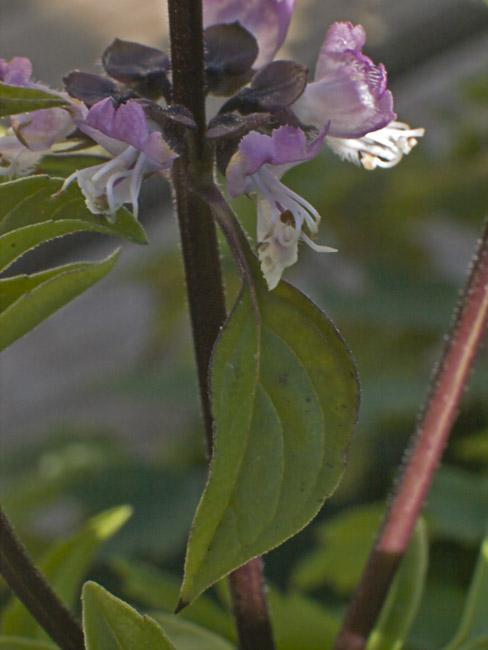 Thai basil in bloom