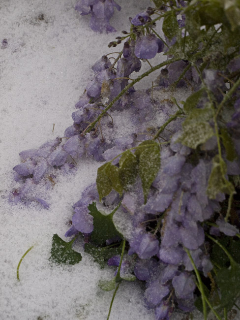 Wisteria and spring snow