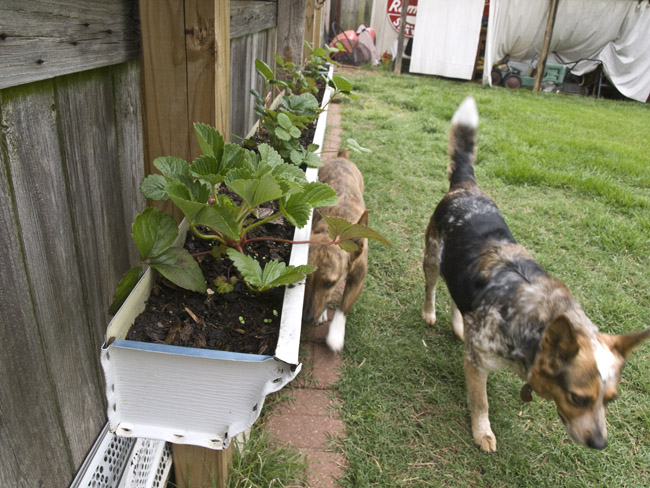 Shelvin and B.B. cruised the dog path below the vertical gutter garden of strawberries.