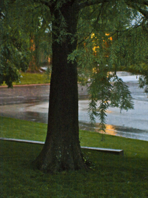 Bald Cypress and the evening rain