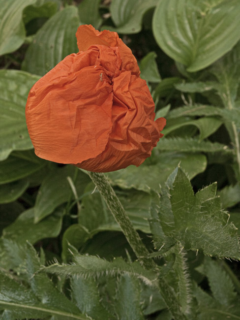 A poppy blooms