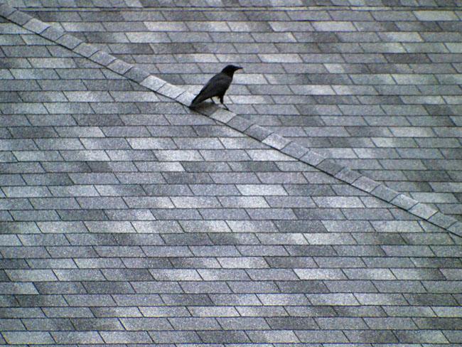 Crow on a hot shingle roof