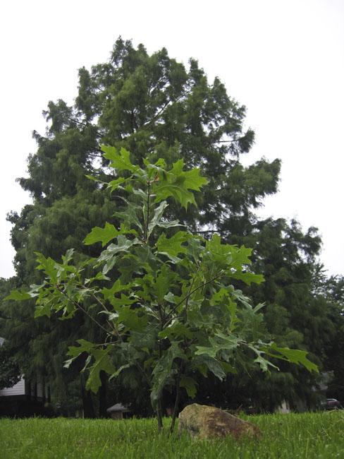 """The """"Mighty Oak"""" year three"""