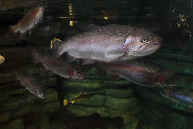 Visually fishing for trout at Springfield's Bass Pro Shop.