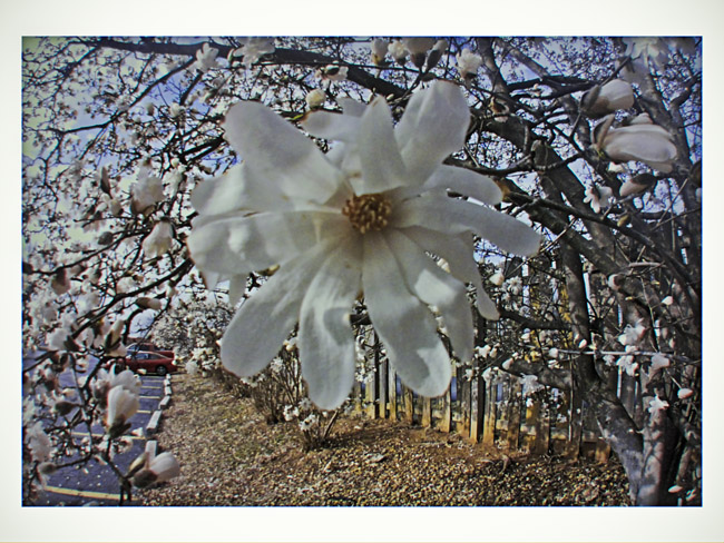 Centennial Star Magnolia, a Little Cyclops photo