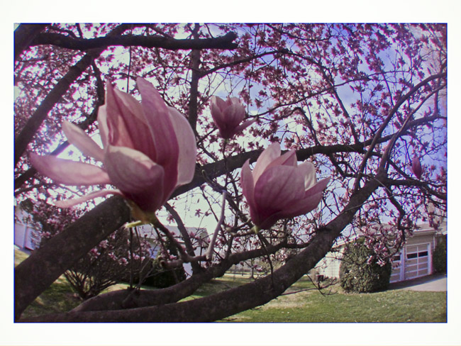 Saucer Magnolia, Magnolia - soulangeana a Little Cyclops photo
