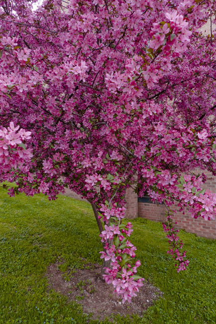 A Redbud grows in Jefferson City