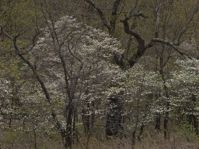The Dogwoods at Ha Ha Tonka State Park