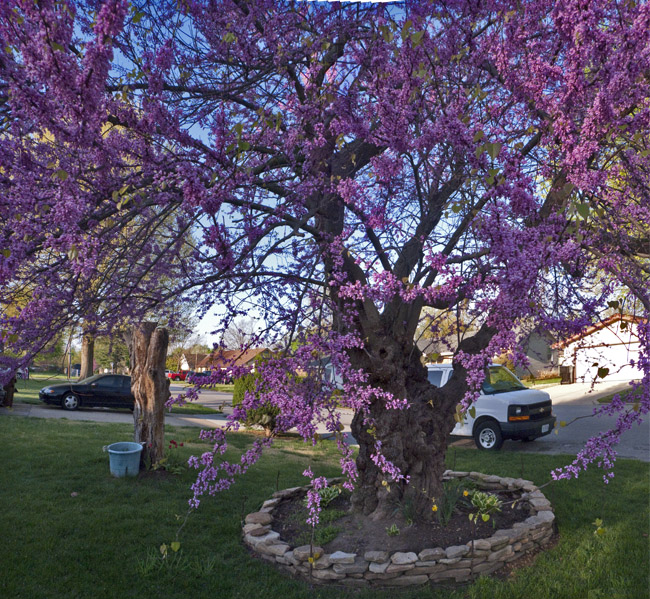 Mr Thomas's Redbud tree
