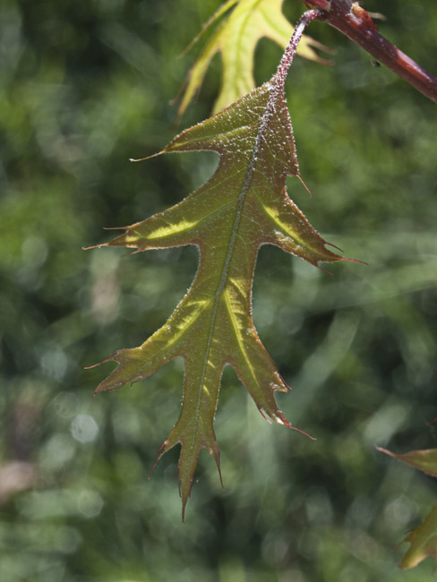A new leaf on the mighty oak