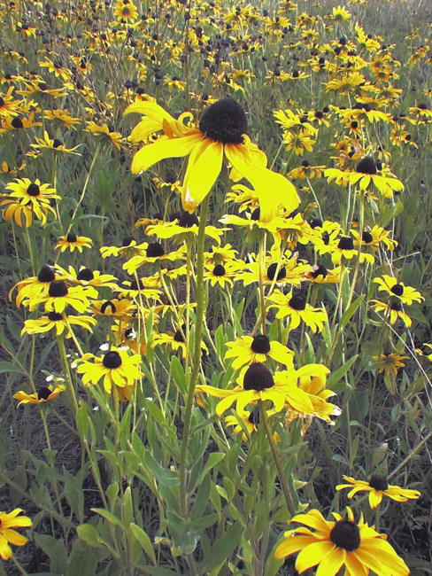 A bed of Black-eyed Susans