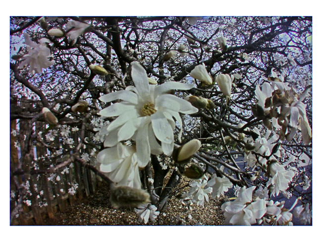 Centennial Star Magnolia in parking lot